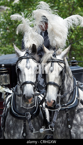 Dapple grey draft horses pulling a wedding carriage. London - Stock Photo