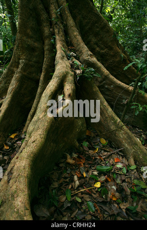 Buttress roots in rainforest. Corcovado National Park, Osa Peninsula, Costa Rica. March 2012. - Stock Photo