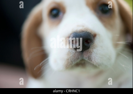 Beagle puppy, focus on nose - Stock Photo