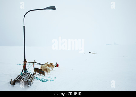 Greenland Dog (Canis lupus f. familiaris), some animals being tied to a street lamp in snow covered desert, Greenland, - Stock Photo