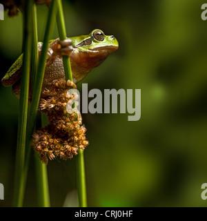 European treefrog Hyla arborea tree frog climbing in vegetation - Stock Photo