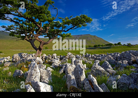 Ingleborough, which is one of Yorkshire's famous three peaks, seen from the limestone pavement of Southerscales - Stock Photo