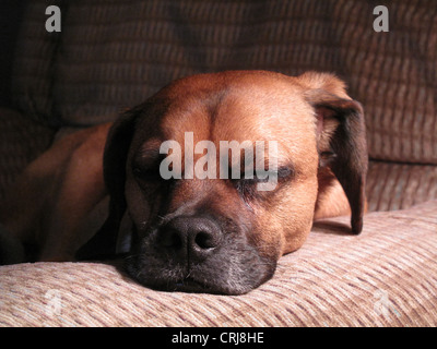 Dog laying on chair arm - Stock Photo