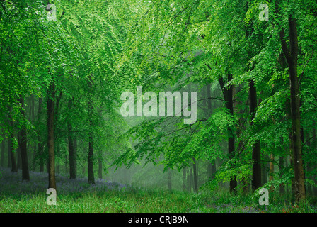 A beautiful beechwood at bluebell time with the mist rolling in UK - Stock Photo
