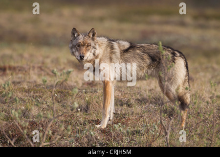 A young gray wolf from the Grant Creek Pack in Denali National Park stands on the tundra near the Denali Park Road - Stock Photo