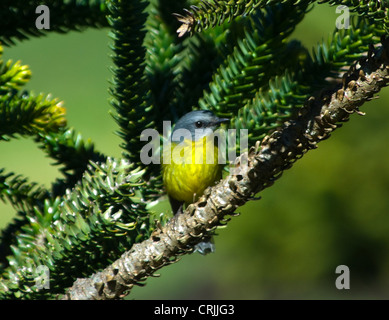 Eastern Yellow Robin (Eopsaltria australis) - Stock Photo