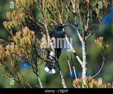 Pied Currawong (Strepera graculina) - Stock Photo