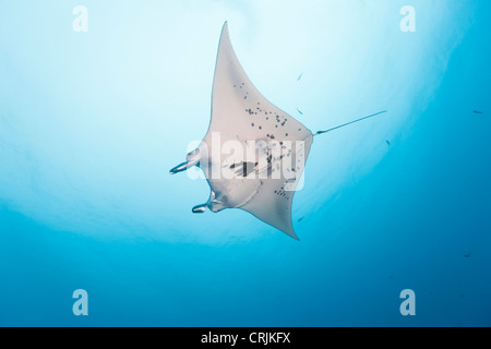 Giant Manta (Manta birostris) swimming near a cleaning station in the German Channel off the islands of Palau in - Stock Photo