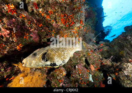 Map Puffer (Arothron mappa) swimming with other fish on a coral and sponge encrusted sea wall - Stock Photo