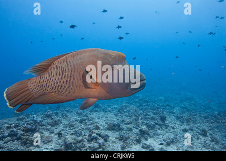 Humphead Wrasse (Cheilinus undulatus), female at the Blue Corner dive site off the islands of Palau in Micronesia. - Stock Photo