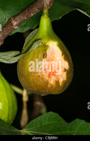 Pecked fig on the tree - Stock Photo