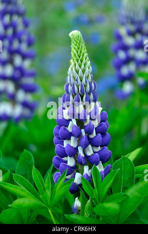 A bluey lupin growing in a cottage garden UK - Stock Photo