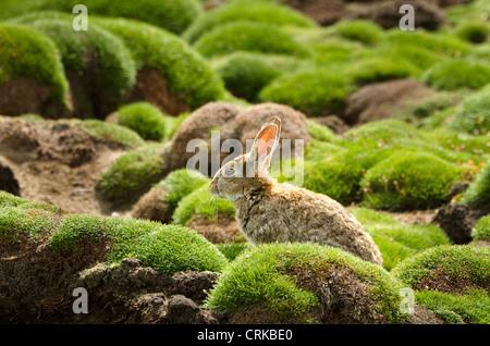 wild rabbit amongst moss on manx shearwater burrows, Skokholm island Wales UK - Stock Photo