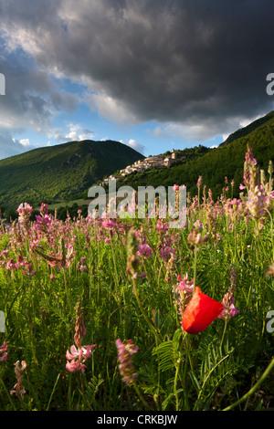 a solitary poppy in a field of sainfoin, Campi, Valnerina, Umbria, Italy - Stock Photo