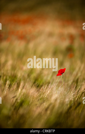 a solitary poppy in a field, nr Norcia, Umbria, Italy - Stock Photo