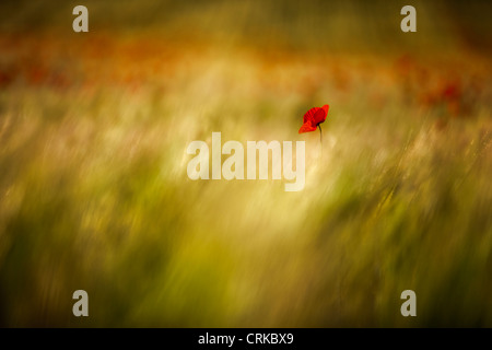 a poppy in a field, nr Norcia, Umbria, Italy - Stock Photo