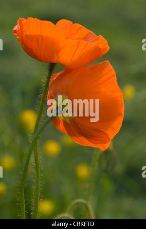 Papaver croceum, Papaver nudicale, Poppy, Icelandic poppy - Stock Photo