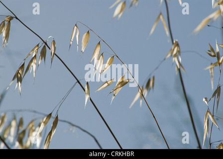 Avena fatua, Oats, Wild oats - Stock Photo
