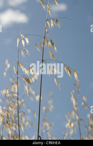 Avena fatua, Oats, Wild oats - Stock Photo