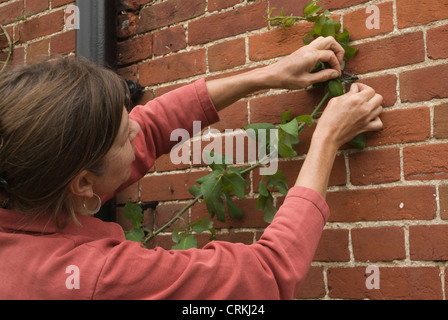 Argyranthemum, Marguerite, Daisy - Stock Photo