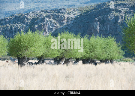 Willow tree are planted to prevent erosion, provide wood and shelter for animals Route 40 south of Zapala Neuquén - Stock Photo