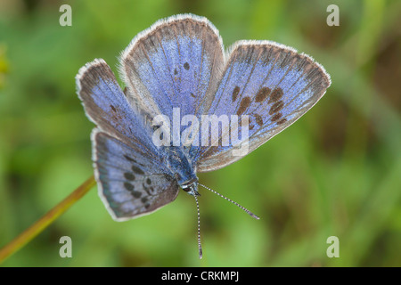 Female large Blue Butterfly (Maculinea arion),sun bathing on Collard Hill - Stock Photo