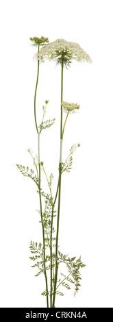 white big flower (Myrrhis Mill) on white background - Stock Photo
