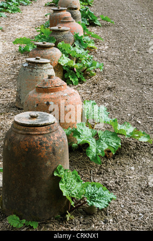 Rheum x hybridum 'Timperley Early', Rhubarb growing in a row of terracotta forcing jars. - Stock Photo