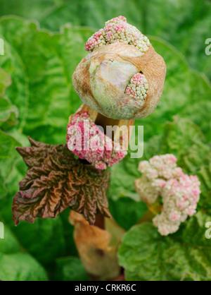 Rheum x hybridum 'Mac Red', Rhubarb - Stock Photo