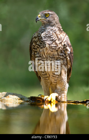 Juvenile female goshawk by edge of pool - Stock Photo