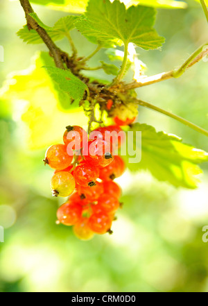 Bunch of riped red currant. - Stock Photo