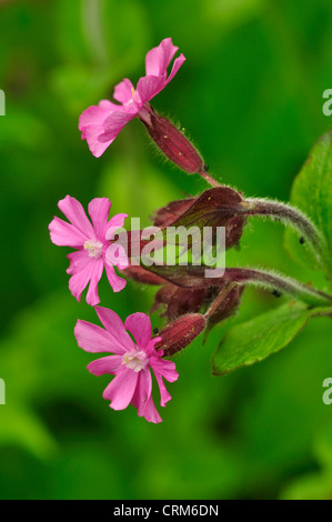 red campion pink spring wild flower - Stock Photo