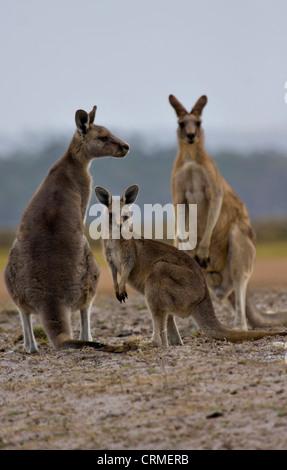Eastern Grey Kangaroo Macropus giganteus family - Stock Photo
