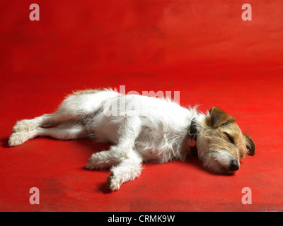 A Parson Russell terrier dog, lying on the floor - Stock Photo