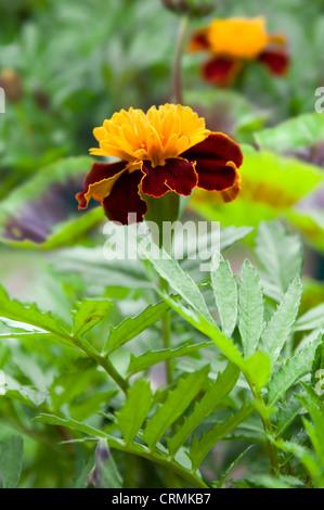 Marigold plants flowering in garden - Stock Photo