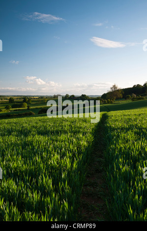 A narrow footpath winds its way through a crop of growing wheat with the rolling countryside near East Haddon in - Stock Photo