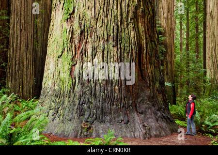 The giant coastal Redwood trees in Jedediah Smith Redwoods State Park, California. - Stock Photo