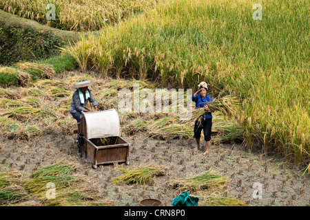 Chinese peasants during harvest in terraces rices fields near Zhaoxing, Guizhou province - China - Stock Photo