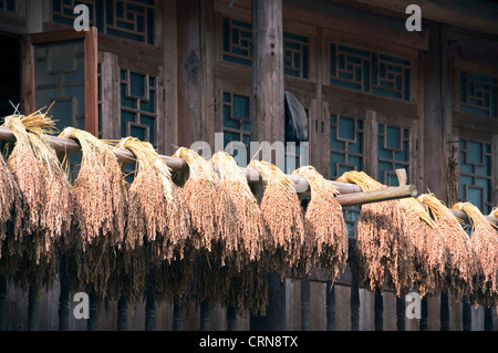 Rice ears drying in the sun after harvest-  Zhaoxing, Guizhou province - China - Stock Photo