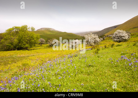 Hawthorn trees in blossom below High Cup Nick in the North Pennines, Eden Valley, Cumbria, UK. - Stock Photo