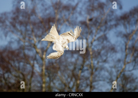 Red Kite (Milvus milvus) adult, leucistic plumage, in flight, diving for food at feeding station, Gigrin Farm, Powys, - Stock Photo