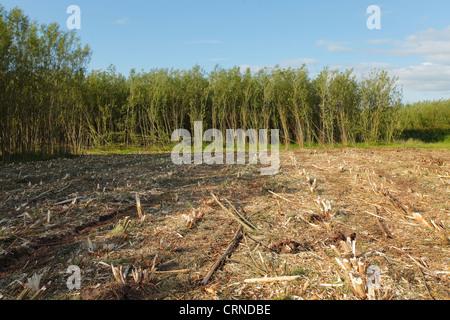Willow Coppice Plantation half harvested near Carlisle, Cumbria, England, United Kingdom, UK - Stock Photo
