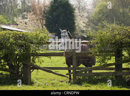 Horse, adult, wearing turnout rug, standing in pasture beside broken wooden fence with barbed wire, Cheshire, England, - Stock Photo