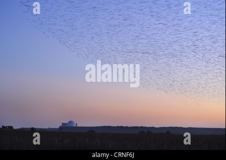 Common Starling (Sturnus vulgaris) flock, in roosting flight, over coastal reedbed habitat at dusk, with Sizewell - Stock Photo