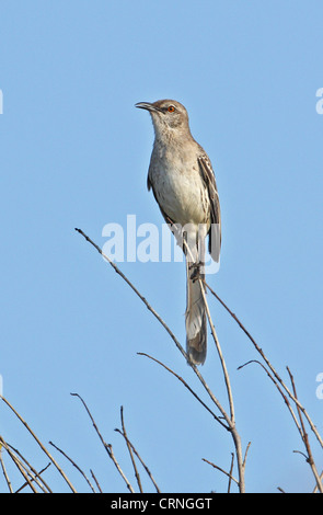 Bahama Mockingbird (Mimus gundlachii hillii) adult, perched on twig, Hellshire Hills, Jamaica, april - Stock Photo