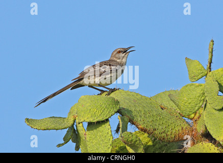 Bahama Mockingbird (Mimus gundlachii hillii) adult, perched on cactus, Hellshire Hills, Jamaica, april - Stock Photo