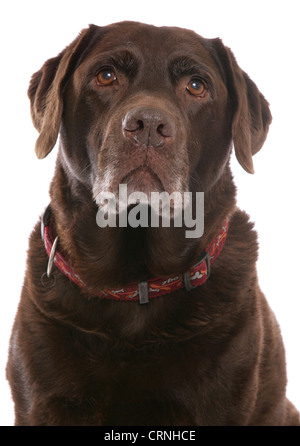 Domestic Dog, Chocolate Labrador Retriever, elderly adult, close-up of head, with collar - Stock Photo