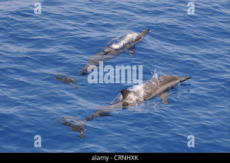 Spinner Dolphin (Stenella longirostris) two adults, surfacing from water, Maldives, march - Stock Photo
