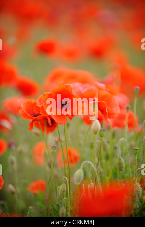 Common poppy, papaver rhoeas. - Stock Photo
