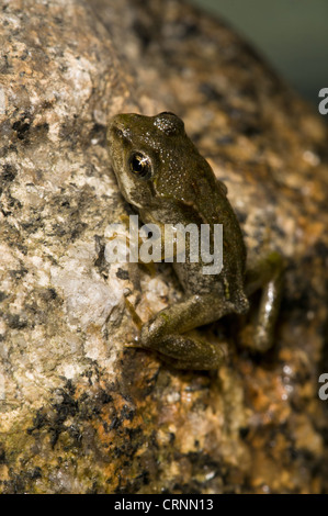 Common Frog (Rana temporaria) juvenile, emerging from water, Belvedere, Bexley, Kent, England, june - Stock Photo